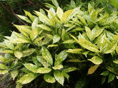 アオキ (植物)の画像 p1_17