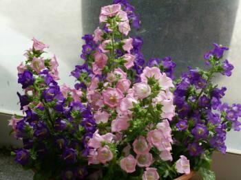 6月11日の誕生花