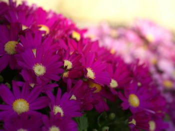 1月29日の誕生花