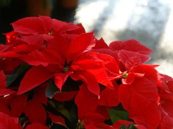 12月5日の誕生花