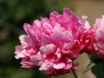 5月19日の誕生花