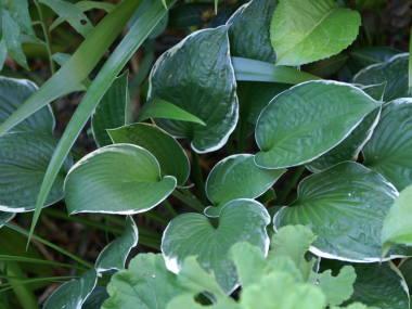 ギボウシの画像 p1_20